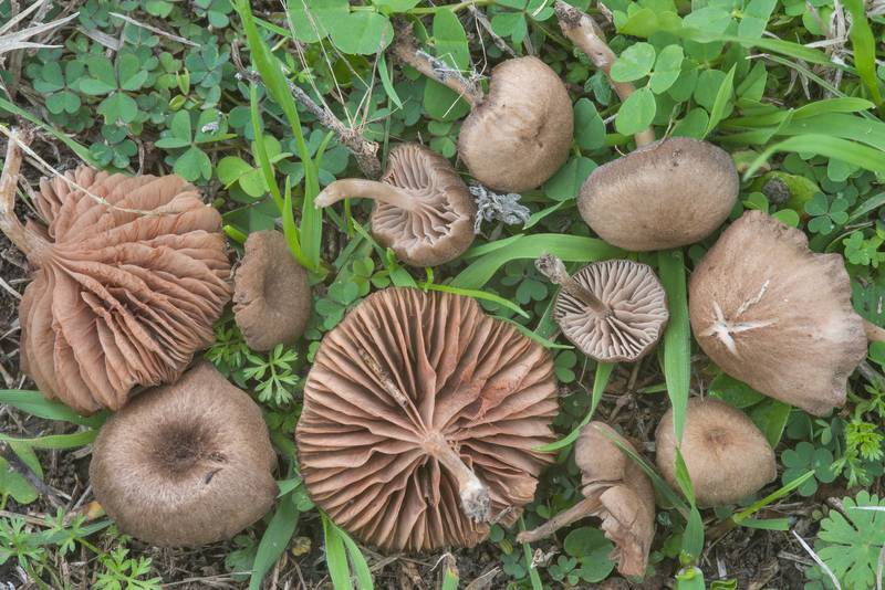 Nolanea mushrooms in grass on Aggie Polo Fields near Bonfire Memorial. College Station, Texas, February 17, 2018