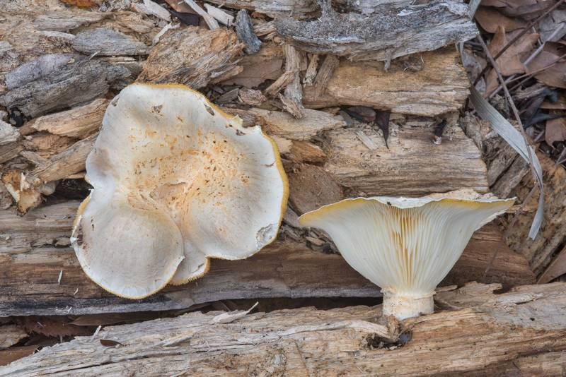 Giant Panus mushrooms (Lentinus levis, Pleurotus levis) or may be P. dryinus on rotten oak in Hensel Park. College Station, Texas, February 17, 2018