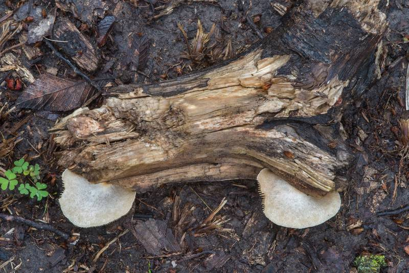 "Rotten wood with peeling oysterling mushroom (<B>Crepidotus mollis</B>) in Bee Creek Park. College Station, Texas, <A HREF=""../date-en/2018-02-24.htm"">February 24, 2018</A>"