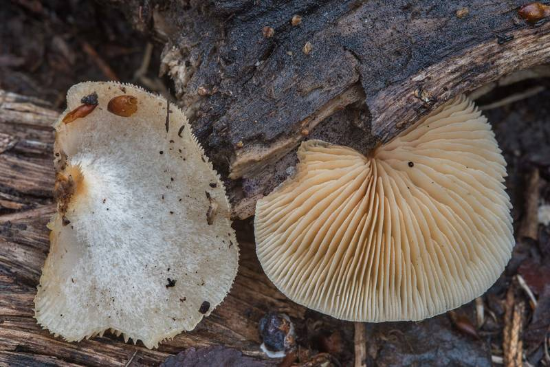 "Peeling oysterling mushroom (<B>Crepidotus mollis</B>) in Bee Creek Park. College Station, Texas, <A HREF=""../date-en/2018-02-24.htm"">February 24, 2018</A>"