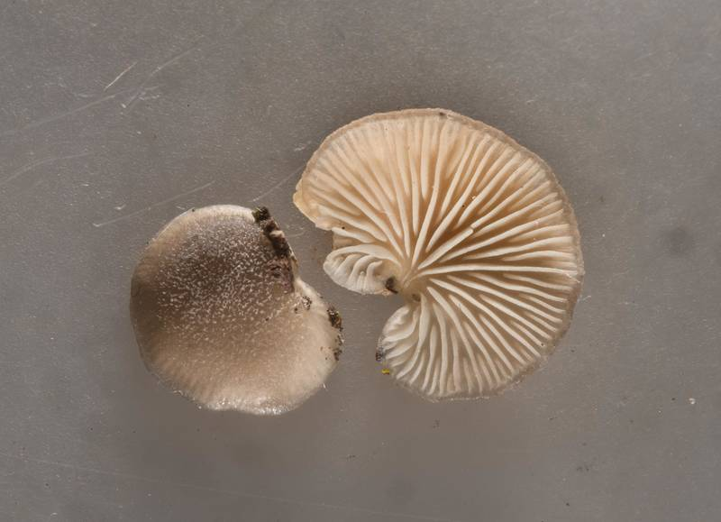 Small mushrooms Hohenbuehelia cyphelliformis from a log in Bee Creek Park. College Station, Texas, February 24, 2018