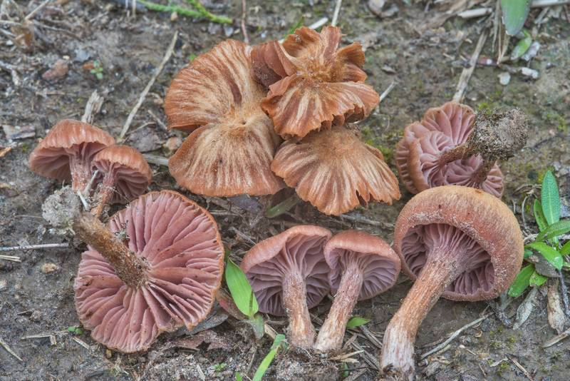 "Bicoloured deceiver mushrooms (<B>Laccaria bicolor</B>) near red cedar trees in David E. Schob Nature Preserve at 906 Ashburn Street. College Station, Texas, <A HREF=""../date-en/2018-02-25.htm"">February 25, 2018</A>"