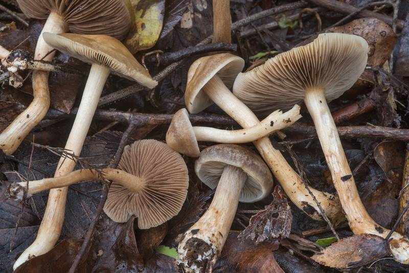 "Fieldcap mushrooms <B>Agrocybe sororia</B> in Wolf Pen Creek Park. College Station, Texas, <A HREF=""../date-en/2018-02-26.htm"">February 26, 2018</A>"