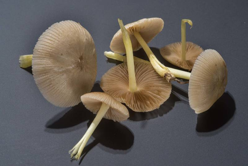 "<B>Bolbitius reticulatus</B> (Bolbitius aleuriatus) mushrooms taken from the university golf course at Texas Avenue. College Station, Texas, <A HREF=""../date-en/2018-02-27.htm"">February 27, 2018</A>"