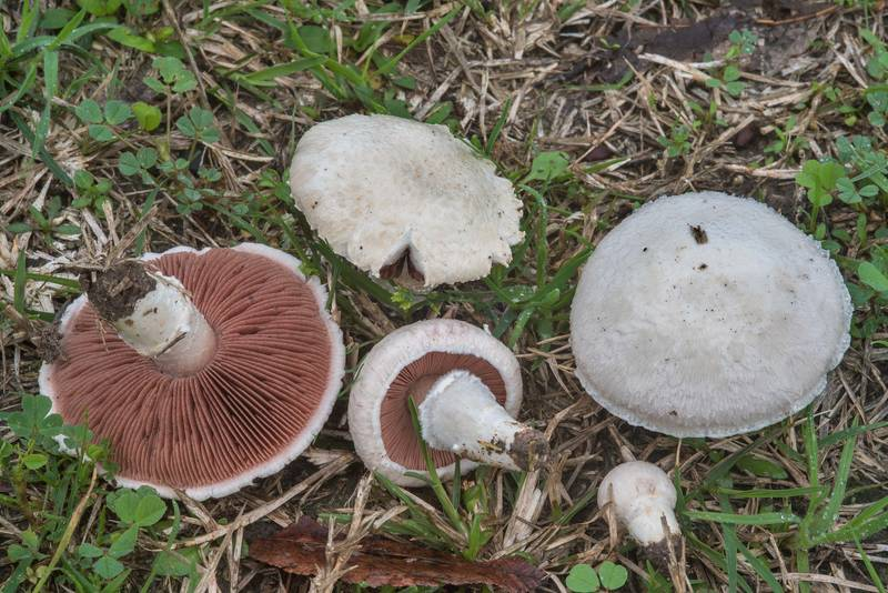 "Meadow mushrooms (<B>Agaricus campestris</B>) in Hensel Park. College Station, Texas, <A HREF=""../date-en/2018-02-28.htm"">February 28, 2018</A>"