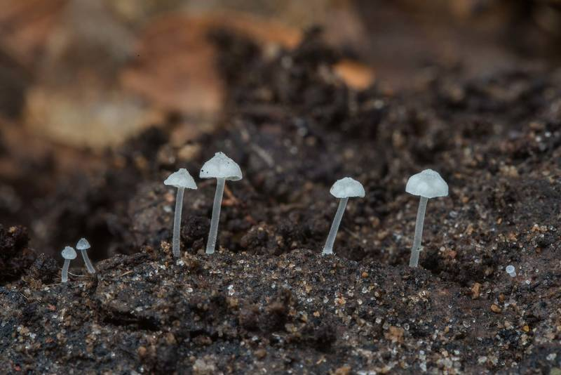 Tiny young mushrooms Delicatula integrella in Hensel Park. College Station, Texas, February 28, 2018