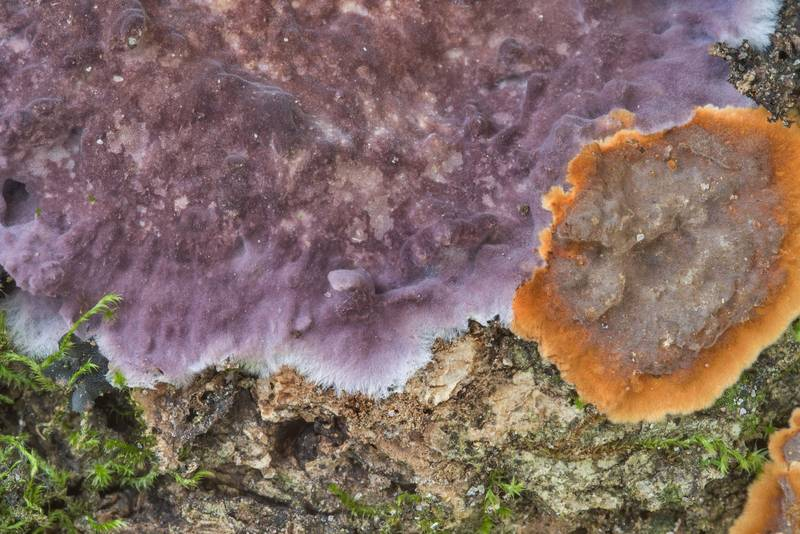 "Hymenochaete (brown) and a purple crust fungus <B>Phlebiopsis crassa</B> (Porostereum crassum) in Hensel Park. College Station, Texas, <A HREF=""../date-en/2018-02-28.htm"">February 28, 2018</A>"