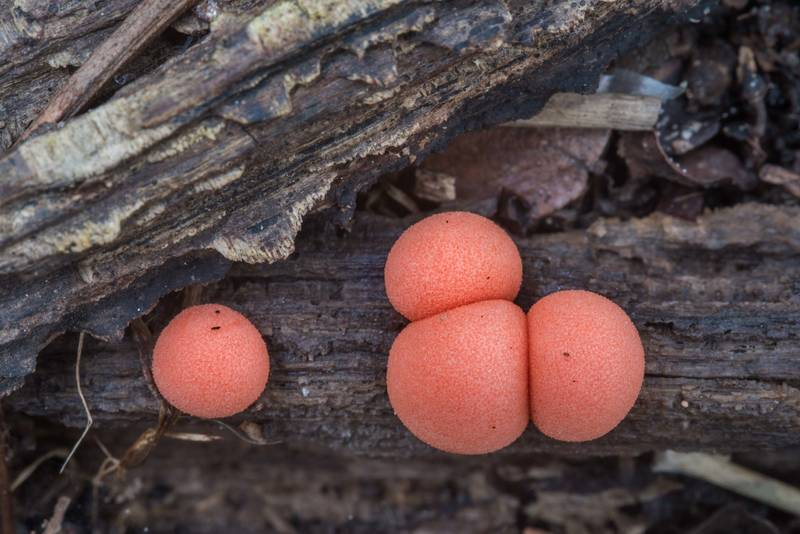 Wolf's milk slime mold (Lycogala epidendrum) on Kiwanis Nature Trail. College Station, Texas, March 1, 2018