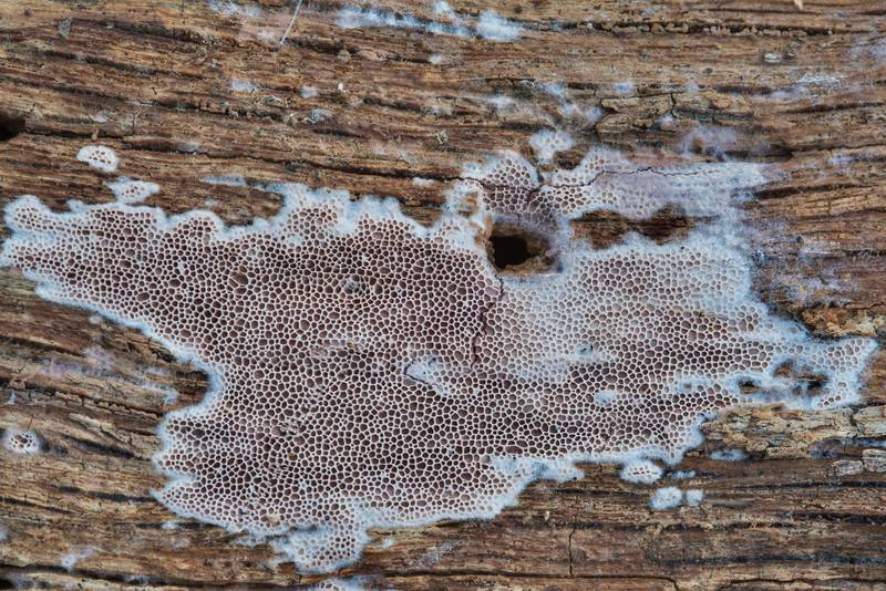 "Purple corticioid mushrooms of <B>Ceriporia purpurea</B> group with large pores on a rotten oak near a road along north shore of Lake Somerville near Birch Creek Unit Somerville Lake State Park. Texas, <A HREF=""../date-en/2018-03-14.htm"">March 14, 2018</A>"