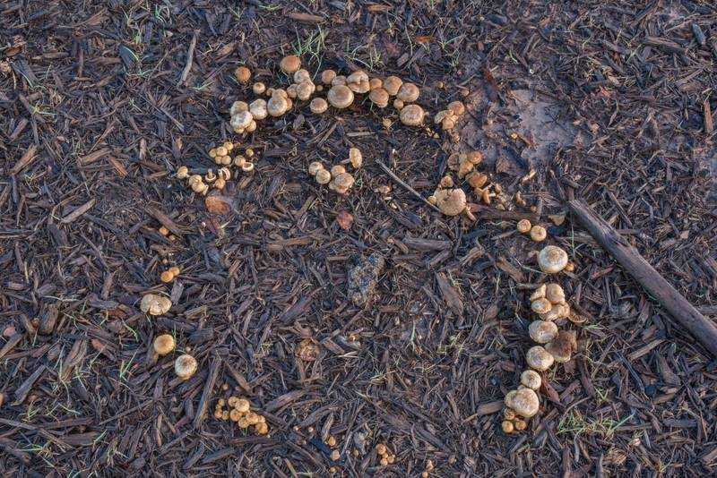"Fairy ring of fieldcap mushrooms (<B>Agrocybe pediades</B>) on a mulched lawn in Lick Creek Park. College Station, Texas, <A HREF=""../date-en/2018-03-19.htm"">March 19, 2018</A>"