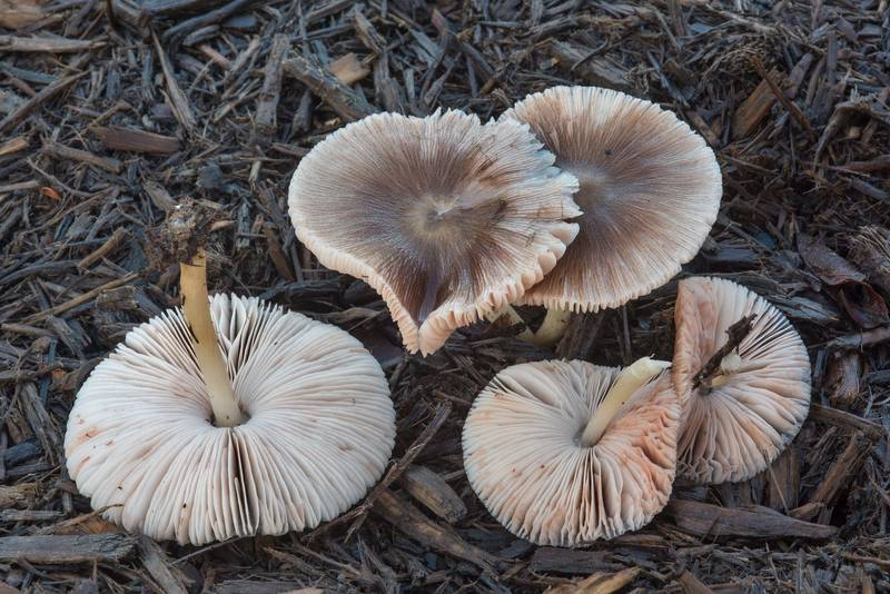"Large pleated shield mushroom (<B>Pluteus longistriatus</B>) on a mulched lawn in Lick Creek Park. College Station, Texas, <A HREF=""../date-en/2018-03-19.htm"">March 19, 2018</A>"