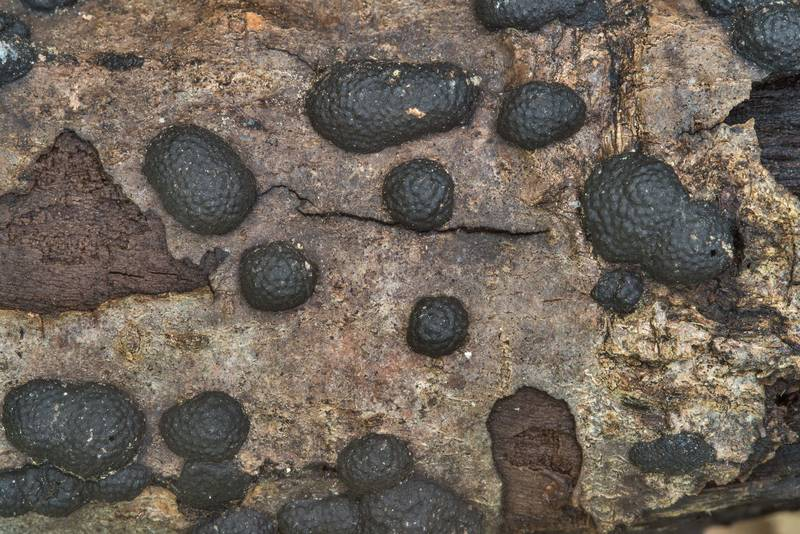 "<B>Jackrogersella multiformis</B> (Annulohypoxylon multiforme) fungus on Caney Creek Trail (Little Lake Creek Loop Trail) in Sam Houston National Forest, near Huntsville. Texas, <A HREF=""../date-en/2018-04-08.htm"">April 8, 2018</A>"