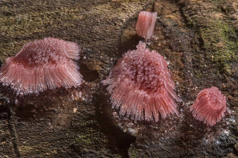 Slime mold Stemonitis fusca in Lick Creek Park. College Station, Texas, April 11, 2018