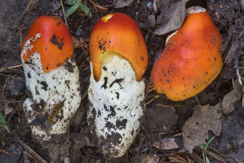 "Young mushrooms <B>Amanita caesarea</B> group collected under cut bushes on a trail in Hensel Park. College Station, Texas, <A HREF=""../date-en/2018-04-14.htm"">April 14, 2018</A>"
