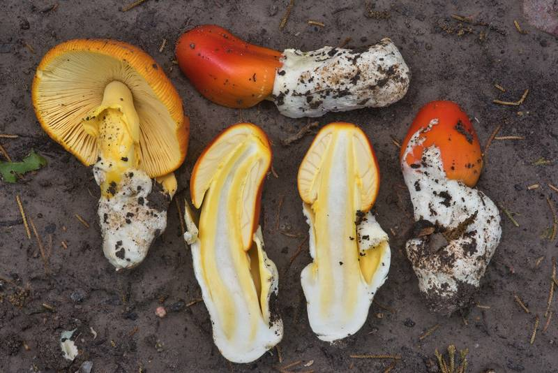 "Dissected mushrooms <B>Amanita caesarea</B> group on a trail in Hensel Park. College Station, Texas, <A HREF=""../date-en/2018-04-14.htm"">April 14, 2018</A>"