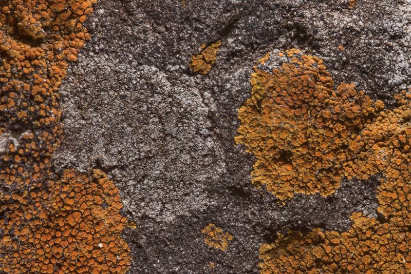 Caloplaca (orange) lichen on a roadside stone on north shore of Lake Somerville near Birch Creek Unit of Somerville Lake State Park. Texas, April 15, 2018