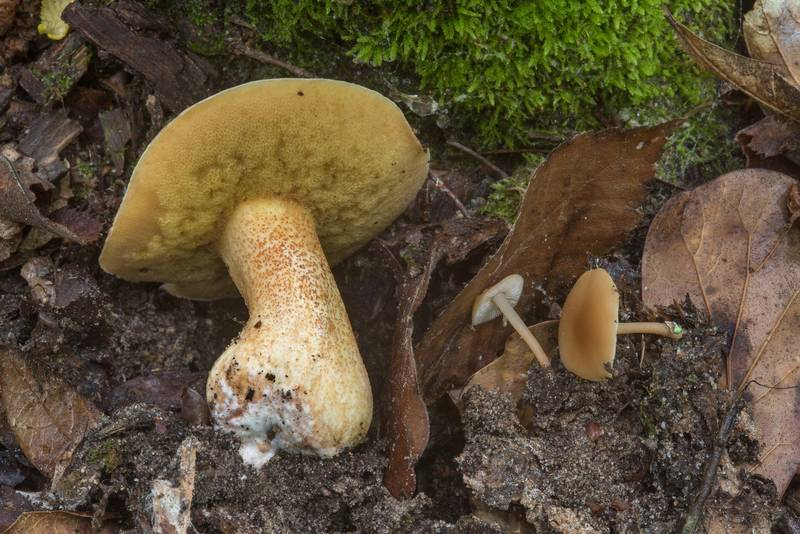 "Bolete mushroom <B>Suillus hirtellus</B>(?) with small Collibia mushrooms on Caney Creek section of Lone Star Hiking Trail in Sam Houston National Forest near Huntsville, Texas, <A HREF=""../date-en/2018-04-22.htm"">April 22, 2018</A>"