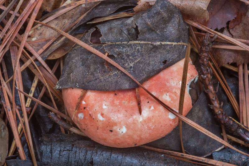 A pink brittlegill mushroom (Russula) on Caney Creek section of Lone Star Hiking Trail in Sam Houston National Forest near Huntsville, Texas, April 22, 2018