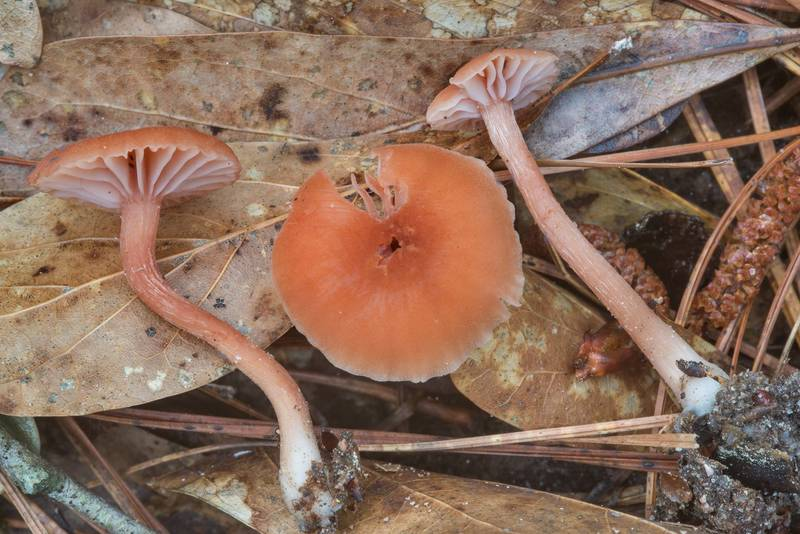 Deceiver mushrooms (Laccaria laccata) on Caney Creek section of Lone Star Hiking Trail in Sam Houston National Forest near Huntsville, Texas, April 22, 2018