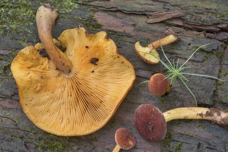 "Plums and Custard mushrooms (<B>Tricholomopsis rutilans</B>) on a rotten pine log on Caney Creek Trail (Little Lake Creek Loop Trail) in Sam Houston National Forest, near Huntsville. Texas, <A HREF=""../date-en/2018-04-22.htm"">April 22, 2018</A>"