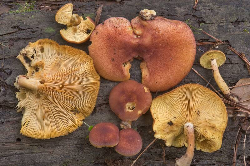 "Plums and Custard mushrooms (<B>Tricholomopsis rutilans</B>) on a thick wet pine log on Caney Creek Trail (Little Lake Creek Loop Trail) in Sam Houston National Forest, near Huntsville. Texas, <A HREF=""../date-en/2018-04-22.htm"">April 22, 2018</A>"