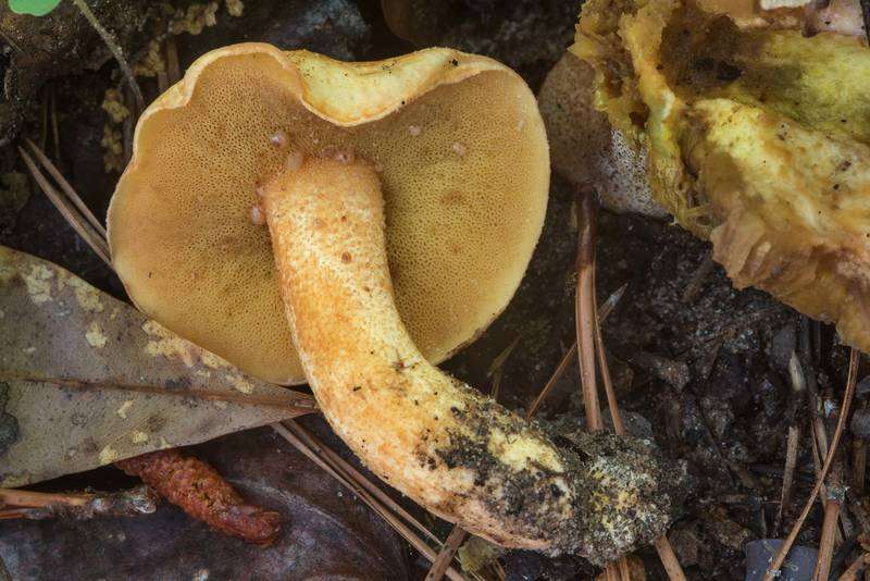 "Bolete mushroom <B>Suillus hirtellus</B>(?) on a slope of a small creek on Caney Creek section of Lone Star Hiking Trail in Sam Houston National Forest near Huntsville, Texas, <A HREF=""../date-en/2018-04-22.htm"">April 22, 2018</A>"