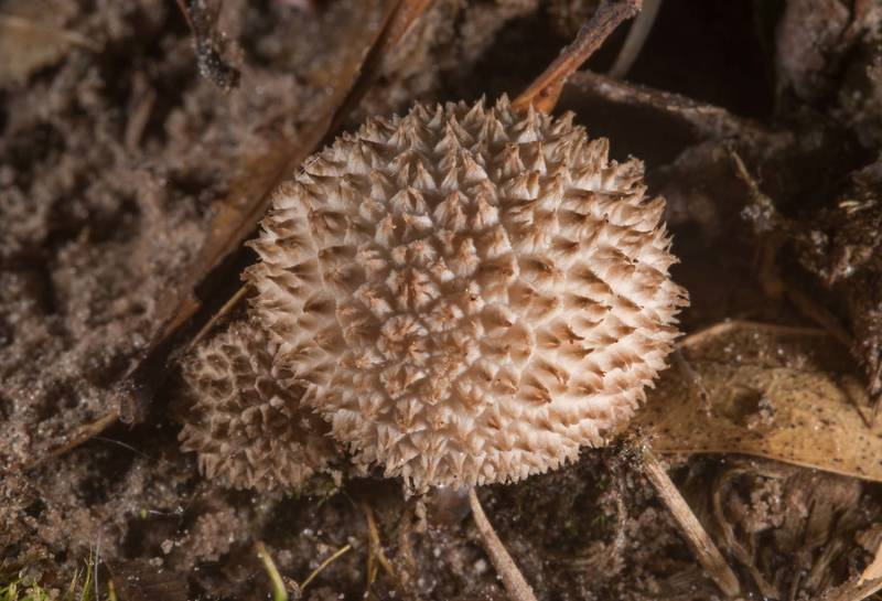 "Small puffball mushroom <B>Lycoperdon curtisii</B> (Vascellum curtisii) on Post Oak Trail in Lick Creek Park. College Station, Texas, <A HREF=""../date-en/2018-04-25.htm"">April 25, 2018</A>"