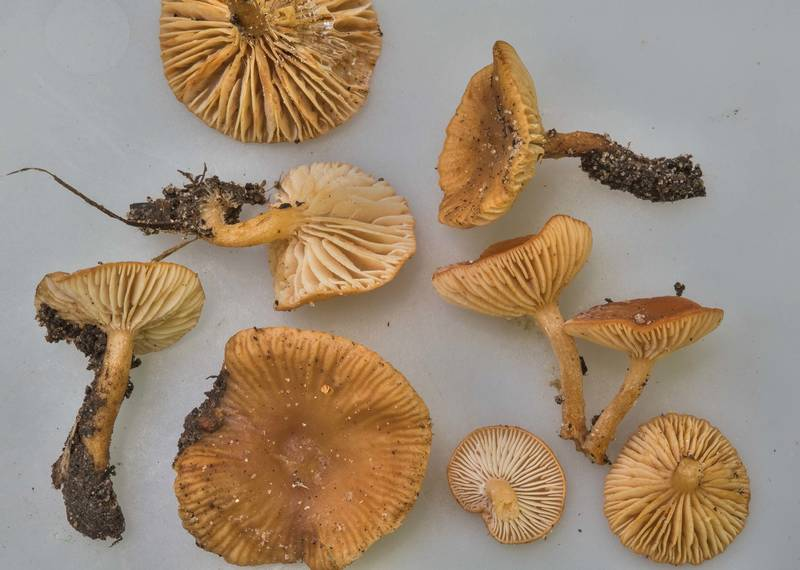 "Small milkcap mushrooms <B>Lactarius neotabidus</B> on white background on Caney Creek section of Lone Star Hiking Trail in Sam Houston National Forest near Huntsville, Texas, <A HREF=""../date-en/2018-04-28.htm"">April 28, 2018</A>"