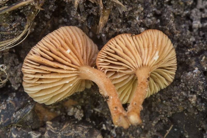 "Close up of small milkcap mushrooms <B>Lactarius neotabidus</B> on Caney Creek section of Lone Star Hiking Trail in Sam Houston National Forest near Huntsville, Texas, <A HREF=""../date-en/2018-04-28.htm"">April 28, 2018</A>"