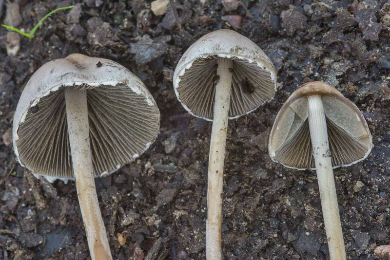 "Close up of petticoat mottlegill mushrooms (<B>Panaeolus papilionaceus</B>) on north shore of Lake Somerville near Birch Creek Unit of Somerville Lake State Park. Texas, <A HREF=""../date-en/2018-05-06.htm"">May 6, 2018</A>"