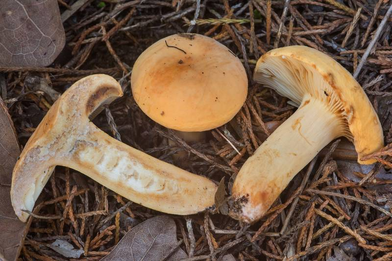 Dissected weeping milk cap mushrooms Lactarius volemus var. flavus on north shore of Lake Somerville near Birch Creek Unit of Somerville Lake State Park. Texas, May 6, 2018