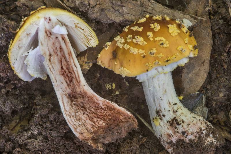 Dissected Amanita flavorubens mushroom in Lick Creek Park. College Station, Texas, May 7, 2018