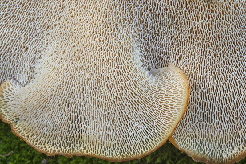 Underside of tropical white polypore mushrooms (Favolus tenuiculus, Favolus brasiliensis) on Kiwanis Nature Trail. College Station, Texas, May 9, 2018