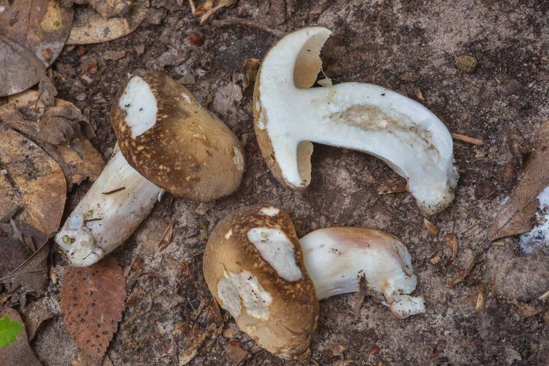 "Dissected spotted bolete mushrooms (<B>Xanthoconium affine</B> var. maculosus) in Lick Creek Park. College Station, Texas, <A HREF=""../date-en/2018-05-13.htm"">May 13, 2018</A>"