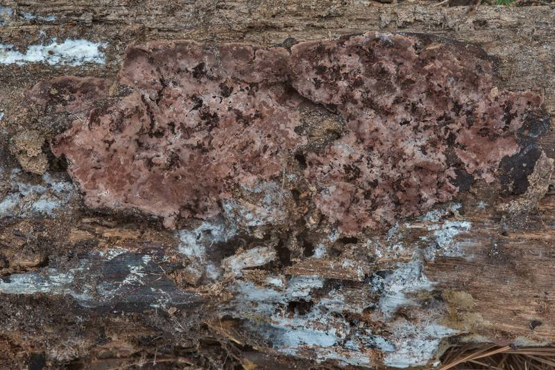 "Partially decomposed resupinate fungus smoky bracket (<B>Bjerkandera adusta</B>)(?) on underside of a log on Caney Creek section of Lone Star Hiking Trail in Sam Houston National Forest near Huntsville, Texas, <A HREF=""../date-en/2018-05-19.htm"">May 19, 2018</A>"