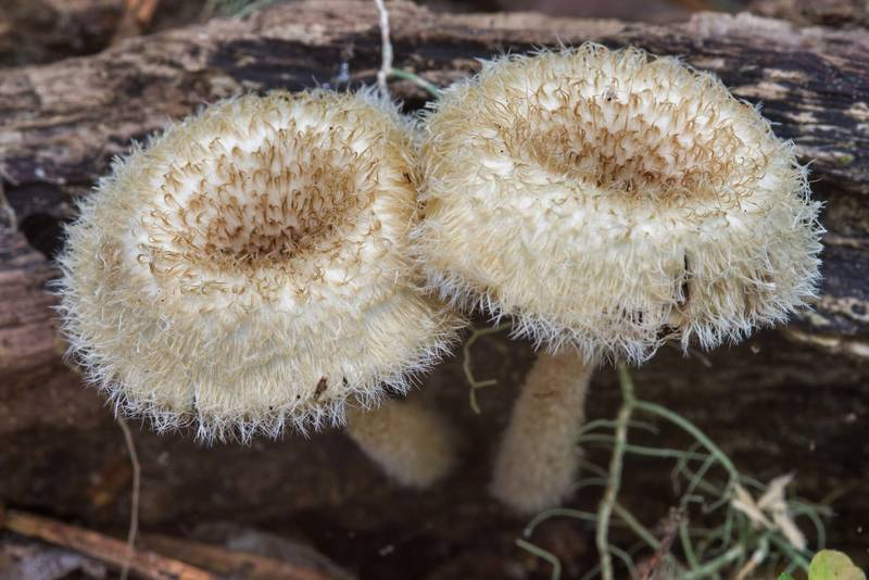 Pair of Lentinus crinitus mushrooms on Caney Creek Trail (Little Lake Creek Loop Trail) in Sam Houston National Forest, near Huntsville. Texas, May 19, 2018