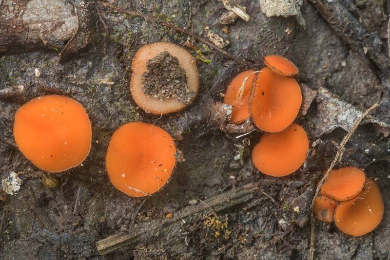 "Common eyelash cup fungus <B>Scutellinia scutellata</B> or a similar species of Scutellinia on muddy ground on Caney Creek Trail (Little Lake Creek Loop Trail) in Sam Houston National Forest, near Huntsville. Texas, <A HREF=""../date-en/2018-05-19.htm"">May 19, 2018</A>"