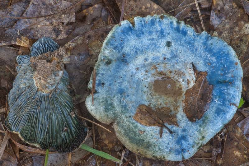 Blue milkcap mushrooms (Lactarius indigo) in Lick Creek Park. College Station, Texas, May 21, 2018
