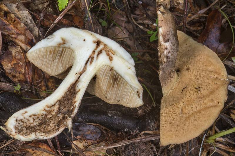 "Dissected bolete mushroom <B>Leccinellum griseum</B> in Lick Creek Park. College Station, Texas, <A HREF=""../date-en/2018-05-21.htm"">May 21, 2018</A>"