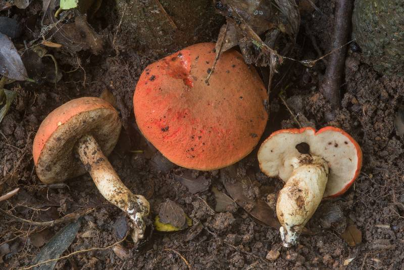 Burnt orange bolete mushrooms (Rubinoboletus balloui, Tylopilus balloui, Gyroporus ballouii) in Lick Creek Park. College Station, Texas, May 21, 2018