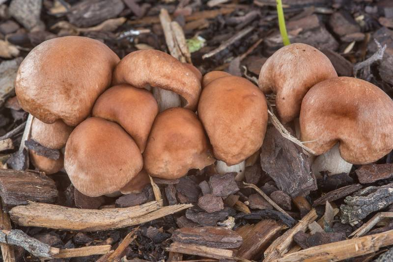 Young luxury cap mushrooms (Gymnopus luxurians) under live oaks on the university golf course at Texas Avenue. College Station, Texas, May 22, 2018