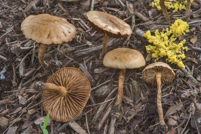 Common fieldcap mushrooms (Agrocybe pediades) on mulch in David E. Schob Nature Preserve at 906 Ashburn Street. College Station, Texas, May 22, 2018