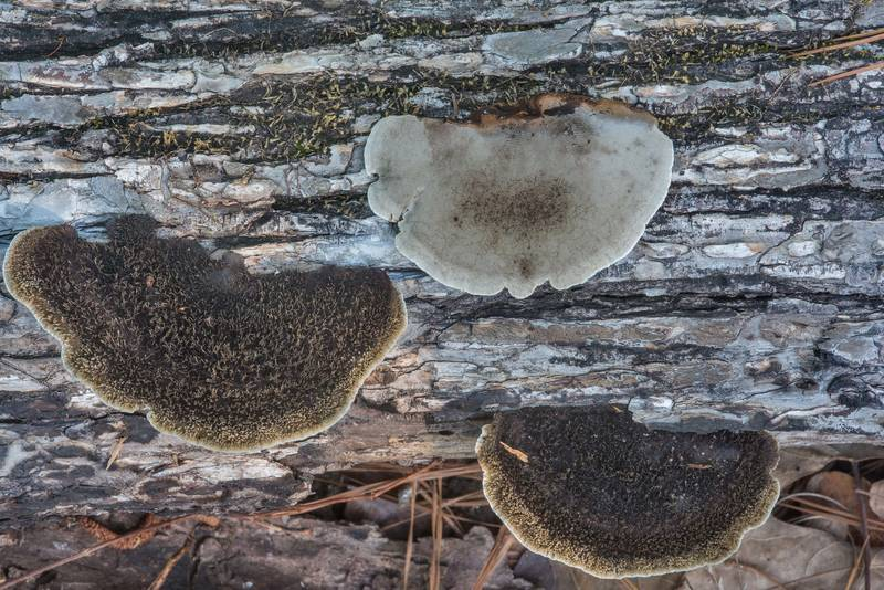 Hairy polypore mushrooms Hexagonia hydnoides on a fallen oak on Little Lake Creek Loop Trail in Sam Houston National Forest. Richards, Texas, May 23, 2018