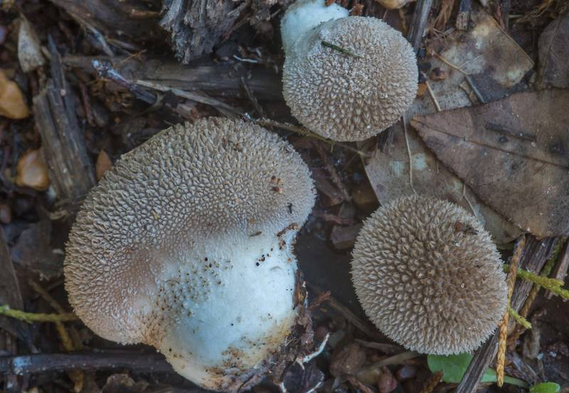 "Spiny puffball mushrooms (<B>Lycoperdon americanum</B>) on sandy roadside in Lick Creek Park. College Station, Texas, <A HREF=""../date-en/2018-05-24.htm"">May 24, 2018</A>"