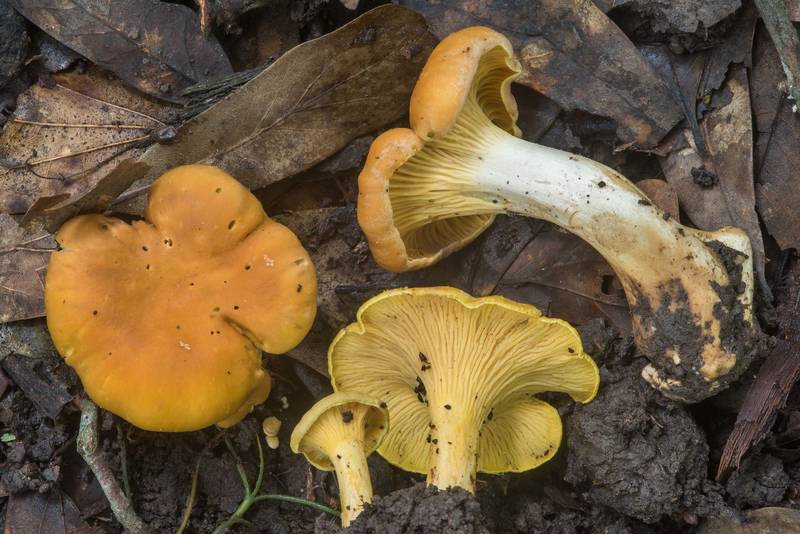 "Group of chanterelle mushrooms (<B>Cantharellus cibarius</B>) on Raccoon Run Trail in Lick Creek Park. College Station, Texas, <A HREF=""../date-en/2018-05-24.htm"">May 24, 2018</A>"