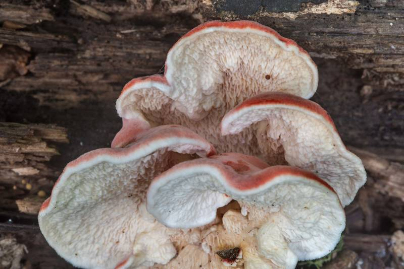 "Side view of <B>Byssomerulius incarnatus</B> (Phlebia incarnata) mushrooms on a log in Lick Creek Park. College Station, Texas, <A HREF=""../date-en/2018-05-30.htm"">May 30, 2018</A>"