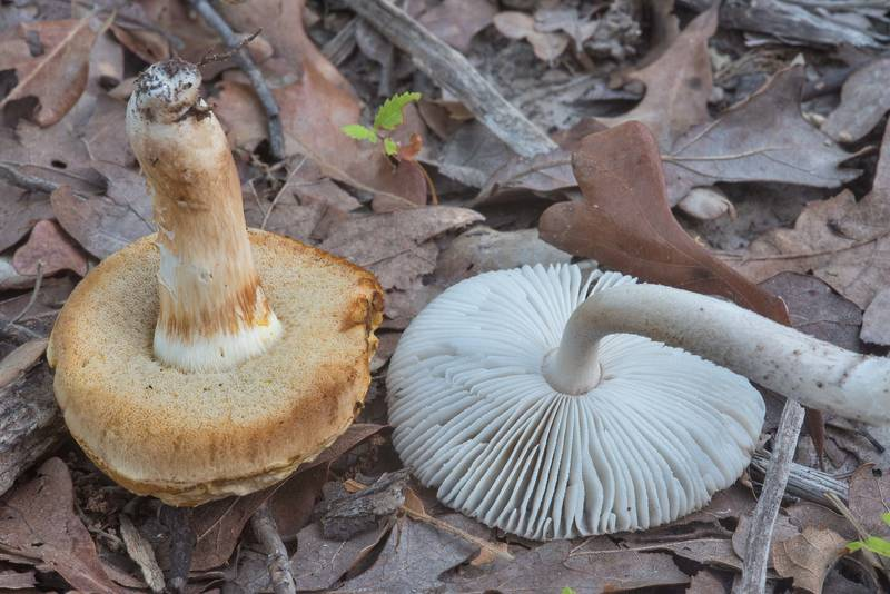 Gills of Xanthoconium and Amanita texasorora mushrooms in Lick Creek Park. College Station, Texas, May 31, 2018