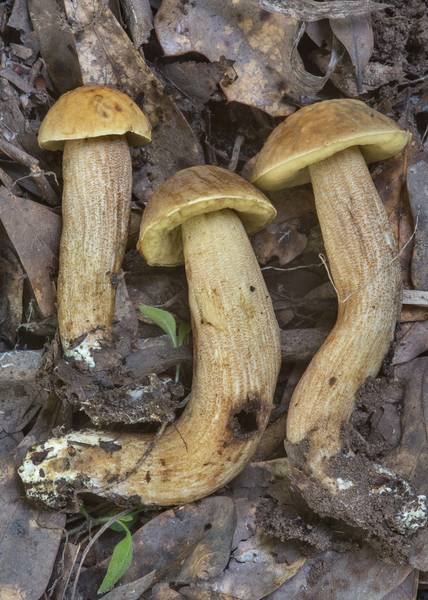 Side view of Saffron Bolete mushrooms (Leccinellum crocipodium) in Lick Creek Park. College Station, Texas, May 31, 2018