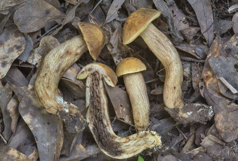 Dissected Saffron Bolete mushrooms (Leccinellum crocipodium) in Lick Creek Park. College Station, Texas, May 31, 2018