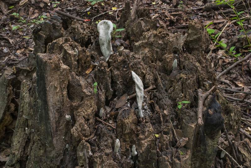Xylaria poitei mushrooms on a rotten stump in Lick Creek Park. College Station, Texas, May 31, 2018